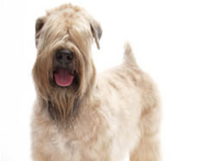 Soft Coated Wheaten Terrier irlandés