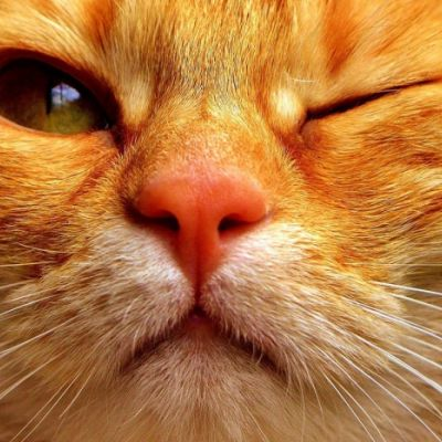 Conjuntivitis felina