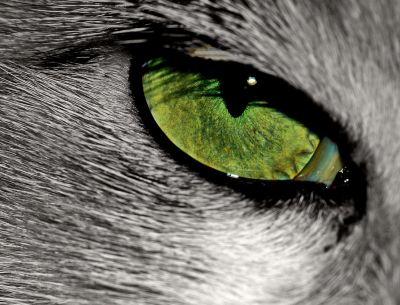 Retina felina