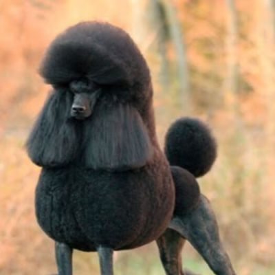 Caniche – Poodle