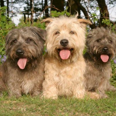 Terrier Glen de Imaal Irlandés