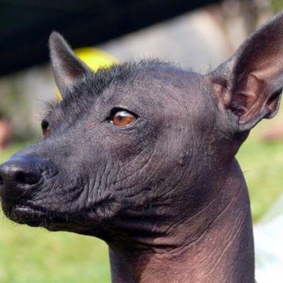 Viringo - Perro sin pelo del Perú