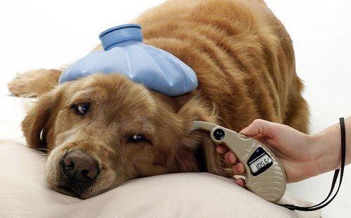 Dirofilariasis canina